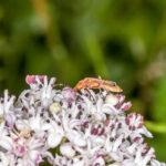 Kleine rode weekschildkever - Rhagonycha fulva-6122