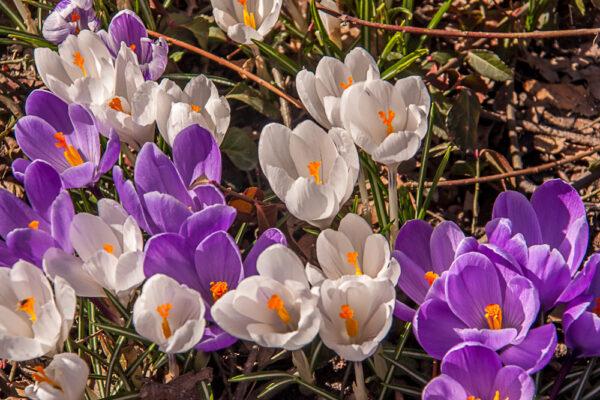 Krokus - Iridaceae-3408