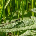 Lantaarntje_vrouw - Ischnura elegans-2922
