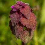 Paarse dovenetel - Lamium purpureum-2746