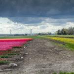Veel bloembollen in Flevoland te zien