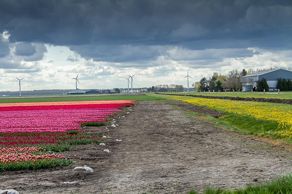 Rose tulpen