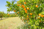 Sinaasappelboom - Citrus sinensis-1640