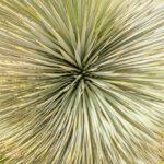 Yucca rostrata - Asparagales-9518