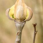 Knop van gewone esdoorn - Acer pseudoplatanus-1230